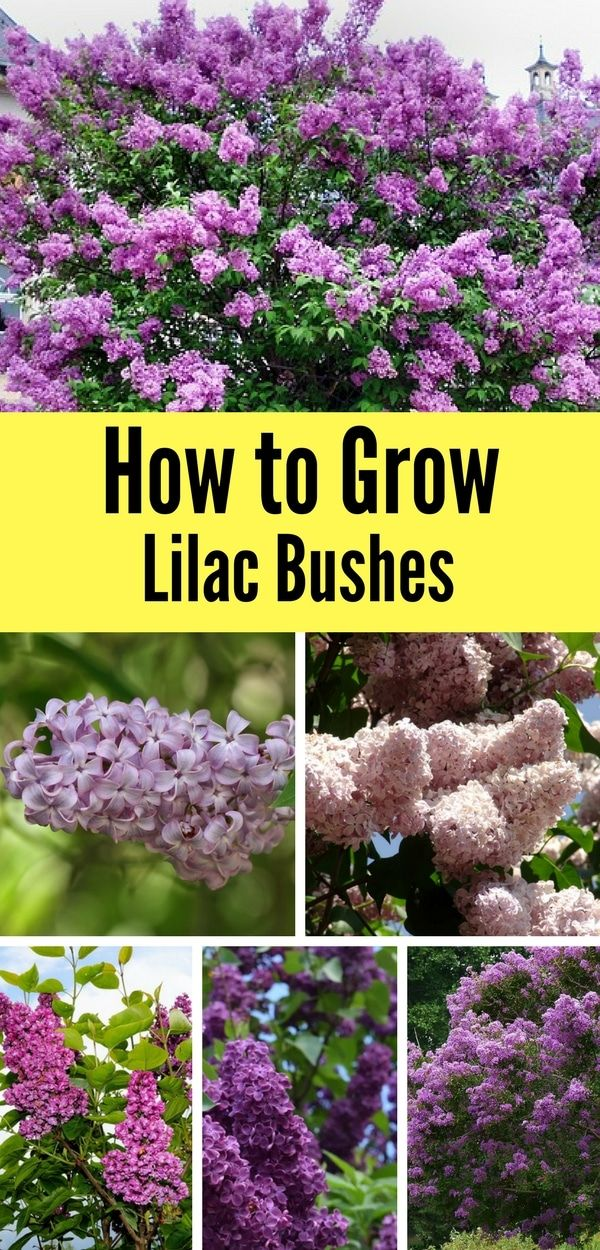 How To Grow A Lilac Bush For Beautiful Blooms In The Spring Natalie Linda Lilac Bushes Garden Shrubs Plants