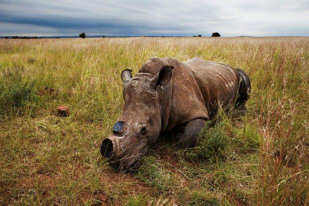 Une solution contre le braconnageLes cornes repousseront en deux ans. Selon ses détracteurs, cette pratique laisse les animaux sans défense face aux prédateurs naturels. L'absence de cornes, rétorquent ses partisans, décourage les braconniers et réduit le nombre de rhinocéros qui mourront de blessures consécutives aux luttes pour le territoire et la reproduction. « La force de frappe d'un rhinocéros adulte demeure incroyable, même avec un petit bout de corne », affirme l'éleveur de gibier…