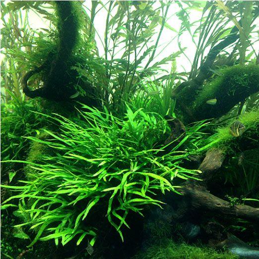 The Aquatic Plant Society  Microsorium pteropus sp Trident  Aquascape  Freshwater aquarium