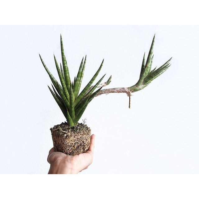 WEBSTA @ lico_nail - 2017/03/08根鉢→植え替え。おはようございます。・#sansevieria#green#plants#succulents#cactus#green#plants#nofilter#plantlife#instaplant#plantsofinstagram#plantlove#botanical#botanicallife#plantroots#多肉植物#サンスベリア#植物#観葉植物