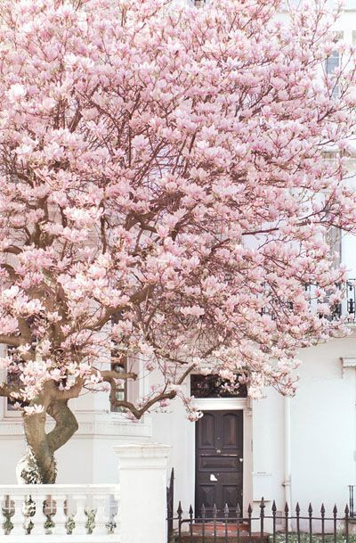 Lovely mangolia clusters in Notting Hill London; indulge in spring's warmth and let colour burst from your soul. .