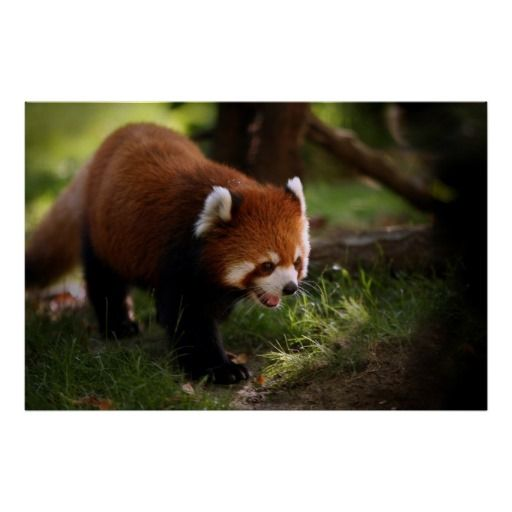 Red Panda Walking Poster