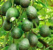 Get your own Little Cado Dwarf Avocado Tree [Five Gallon]