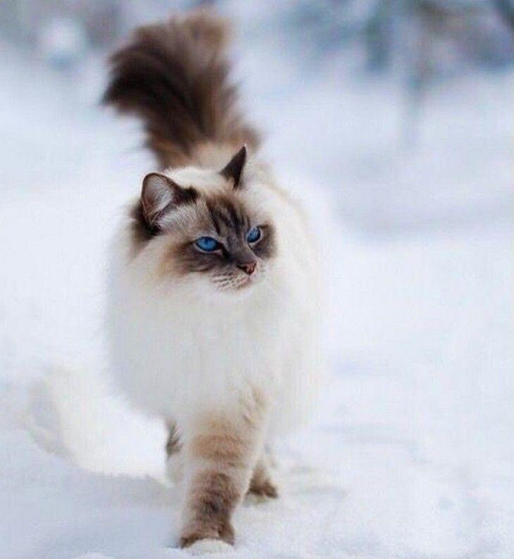 gato do Himalaia                                                                                                                                                                                 Mais