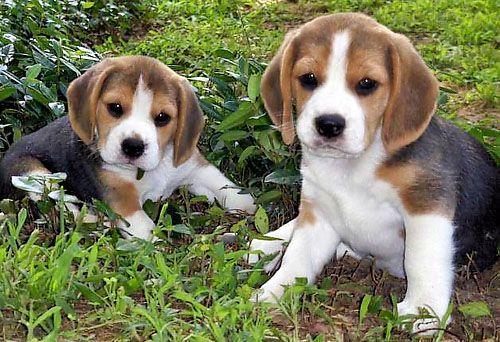 Google Image Result for http://beagleshgg.com/images/perros/cachorros-beagles.jpg