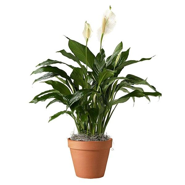 Spathiphyllum in Terracota | Plant and Flower Delivery NYC Florist | Plantshed.com