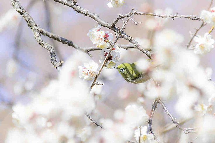 浄妙寺 春の梅が美しい。裏山の石窯ガーデンテラスはおすすめのレストランです。