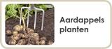 Aardappels planten / Aardappelen zijn niet meer weg te denken uit onze keuken. Aardappelen zijn immers essentieel in tal van gerechten. Toch is niet elke aardappel zomaar een aardappel. Er bestaan enorm veel verschillende soorten, elk met hun eigen, aparte kenmerken. Hoe begint u met het telen van aardappelen? In deze tuintip maakt Floralux u graag wegwijs.