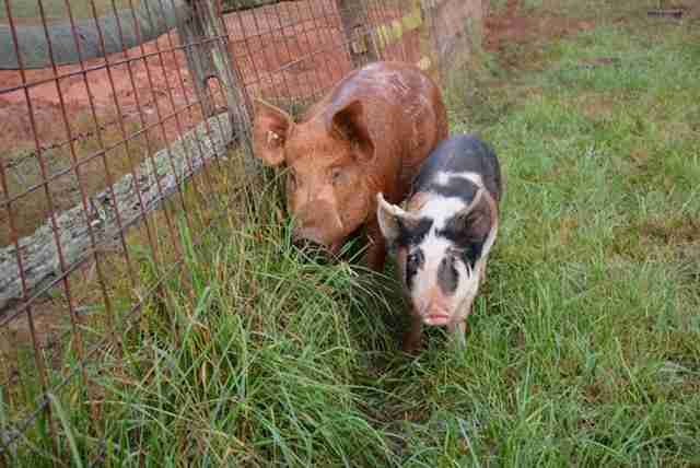 Little Pig Considered Too Clingy Finds The Perfect Boyfriend Animal Companions Pig Rescue Vegan Animals