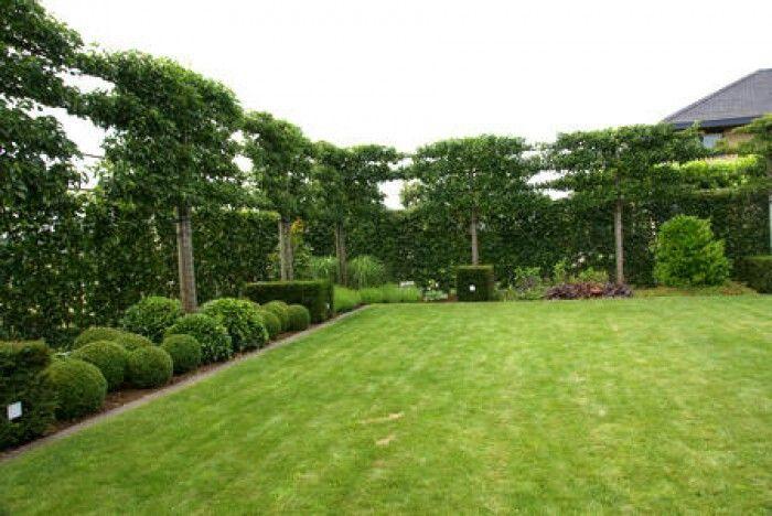 Leilinden om hoogte en privacy te creëren. In het najaar kunnen ze weer geplant worden.