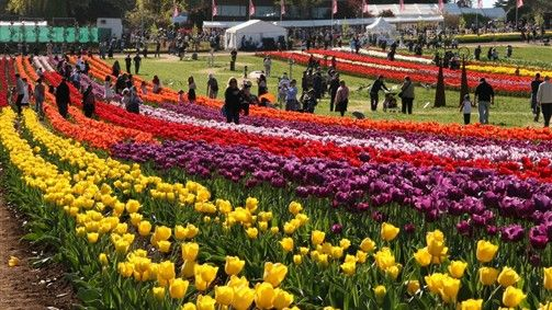 Tulip garden is Asia's biggest garden, Tulip festival is celebrated from 15 to 20 days in April. It is showcase around 300,000 tulip blossoms of more than 70 types. These are amazing facts of Tulip festival.