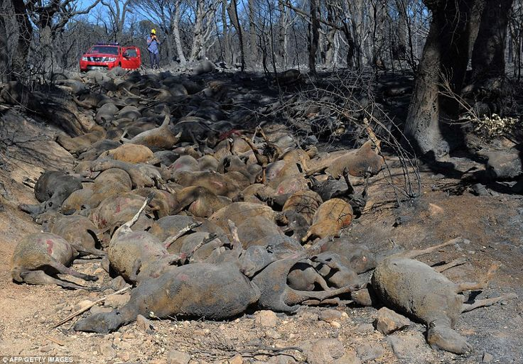 A flock of 500 sheep were burned during one of the wildfires which took hold in Ller near La Junquera close to the Spanish-French border.