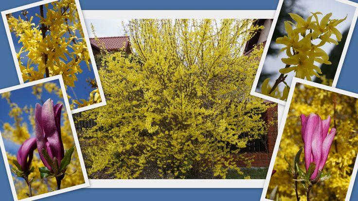 wiosna w moim ogrodzie - kwitnie forsycja i magnolia