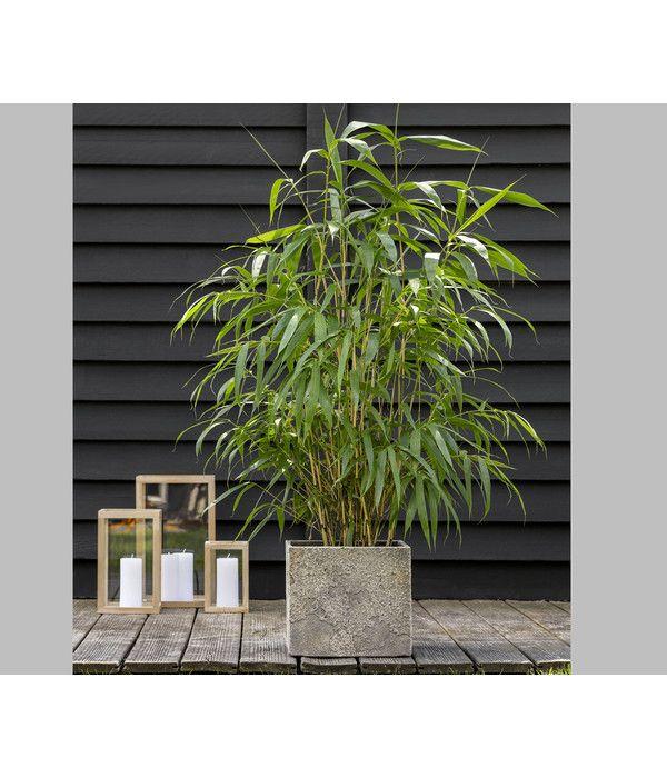 Schirm Bambus Jumbo Dehner In 2020 Bambus Pflanzen Bambus Bambus Balkon