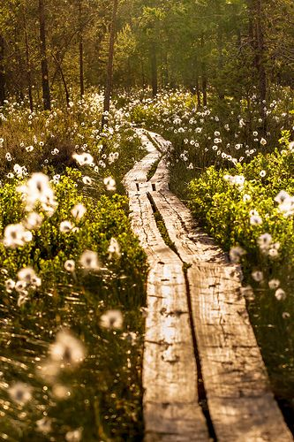 This is how it is to hike in Finland in the summer. ˚Duckboards - Finland