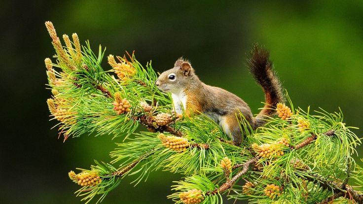 příroda, stromy, zvířata, veverka, hloubka ostrosti, větev, kužely ...