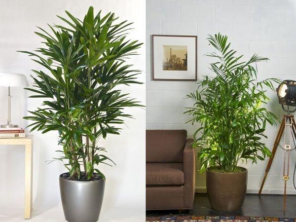 Palmerita China. Plantas de interior resistentes #Plantasdeinterior