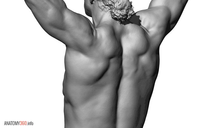 Anatomy 360 — Some body builder pose reference. Higher res...