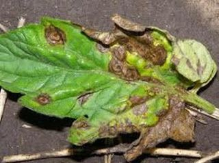 The Rusted Vegetable Garden . Foliar Tomato Spray: Preventing Tomato Diseases with Baking Soda Preventing Tomato Diseases with Baking Soda (Leaf Spot and Blight Diseases)