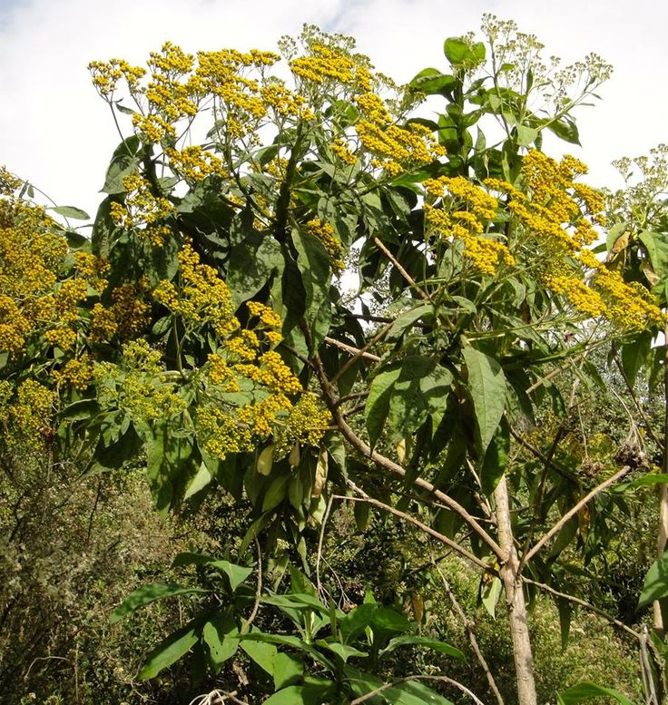 Florescencia en Arboloco Camargo (Verbesina crassiramea S.F. Blake).