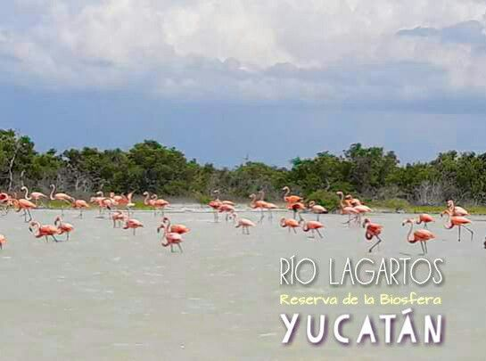 RIO LAGARTOS Y LAS COLORADAS EN YUCATÁN  Habitaciones frente a la laguna, desayunos y tour acuático INF aldeamaya@hotmail.com TEL/WHATSAPP 9992163155 VISITANOS http://aldeasmaya.com/alojamientos-rurales #RioLagartos #Habitaciones #LasColoradas #ReservaBiosfera #Yucatan #YucatanTravel #MexicoTravel #AldeaMaya