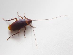 Si vous avez le cafard ne vous endormez pas. Un Australien a dû se rendre à l'hôpital après avoir tenté en vain d'extraire un insecte de son conduit auditif avec un aspirateur.