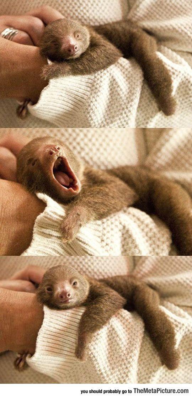 Tiny Baby Sloth Yawning