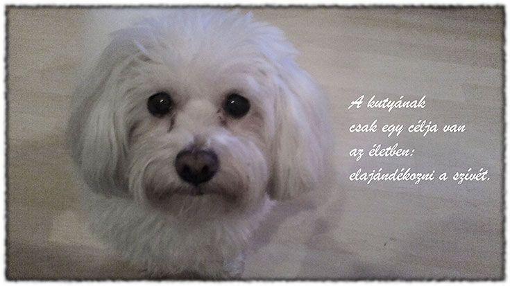 idézet a kutyákról, szeretetről,  cagnolino,  havanese,  dog