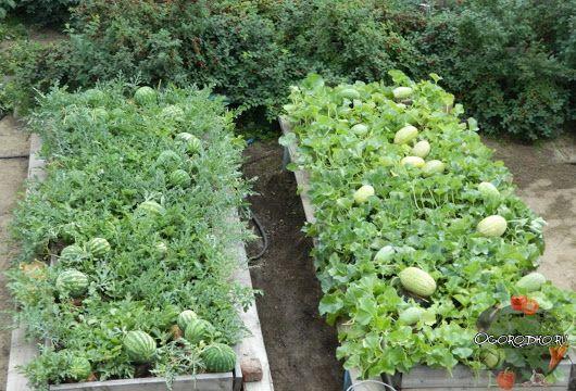 как просто вырастить дыни и арбузы