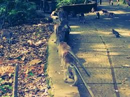 monkey forest is a tourist spot located in the area ubud,bali monkeys live in a forestnthat are visited,survavors chose a visit in Bali<3