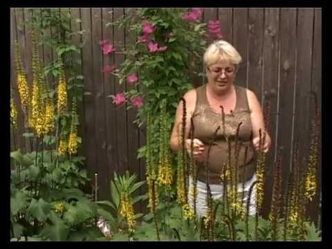 Сад и огород. Бузульник