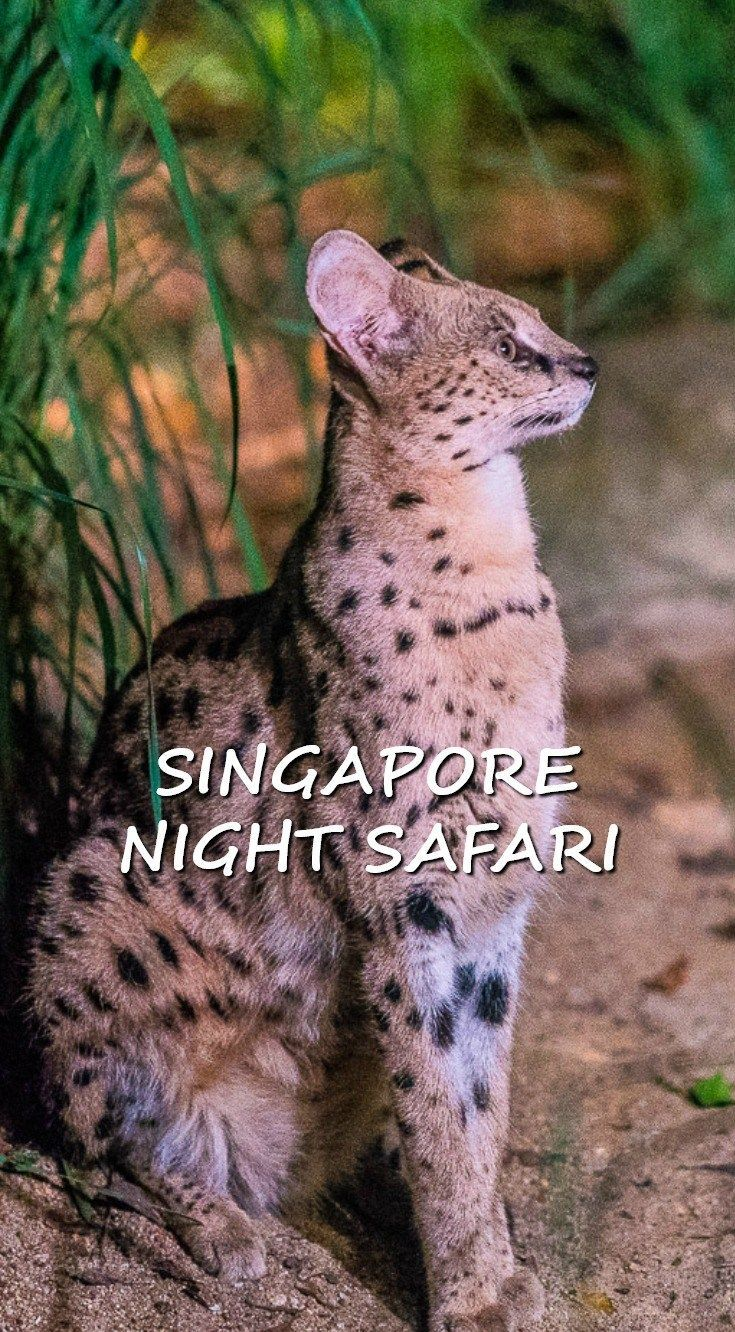 "There's a night safari in Singapore, in case you didn't know. All of our friends who heard we had a stopover in Singapore told us ""you have to go!"" Peer pressure and recommendations talked us into doing the Singapore Zoo Night Safari without knowing what to expect. Click through to read an honest assessment of what Singapore Zoo Night Safari has to offer, along with tips to fully enjoy the nocturnal zoo. 