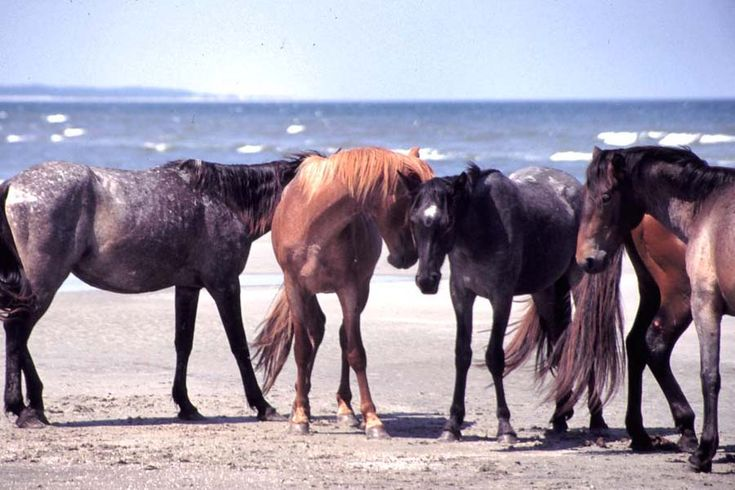 Wild horses on the beach at Cumberland Island National Seashore in Georgia