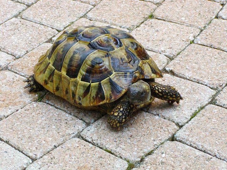 griekse schildpad