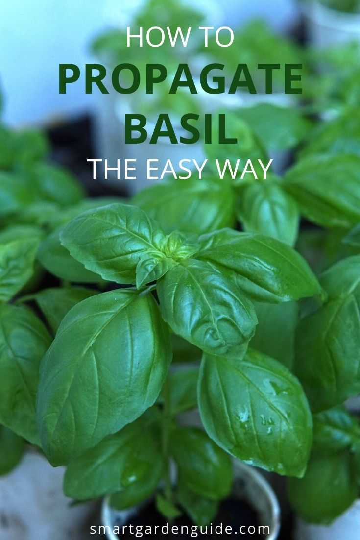 How to propagate basil from cuttings or seeds with