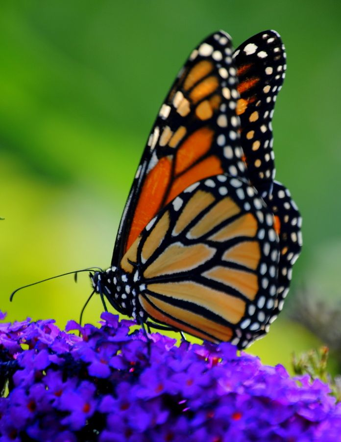 500px / Photo Monarch Butterfly on Butterfly Bush by Nate A
