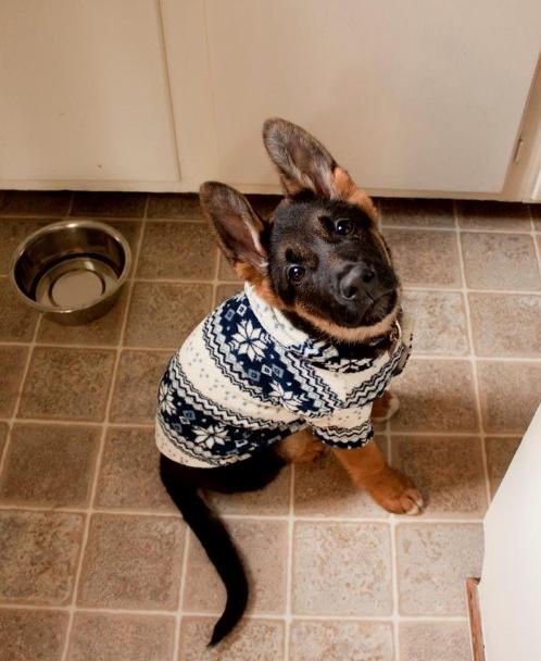german shepherd puppy in christmas costume