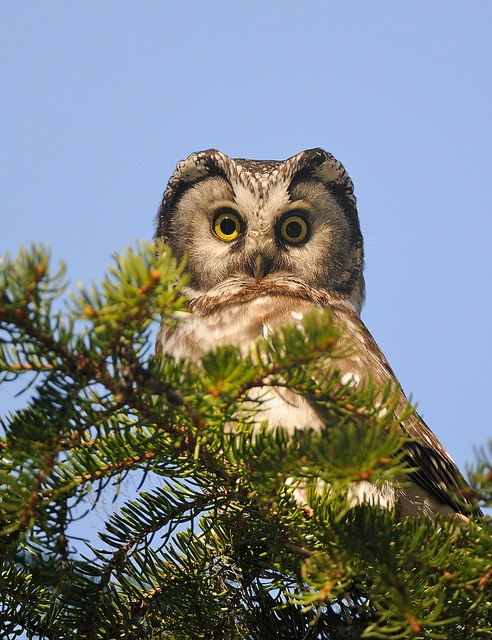 Boreal Owl, Aegolius funereus, is a small owl. It is also known as the Tengmalm's Owl after Swedish naturalist Peter Gustaf Tengmalm. Other names for the owl include Richardson's Owl, Funeral Owl (latin: funereus), Sparrow Owl and Pearl Owl (Finnish: helmipöllö).