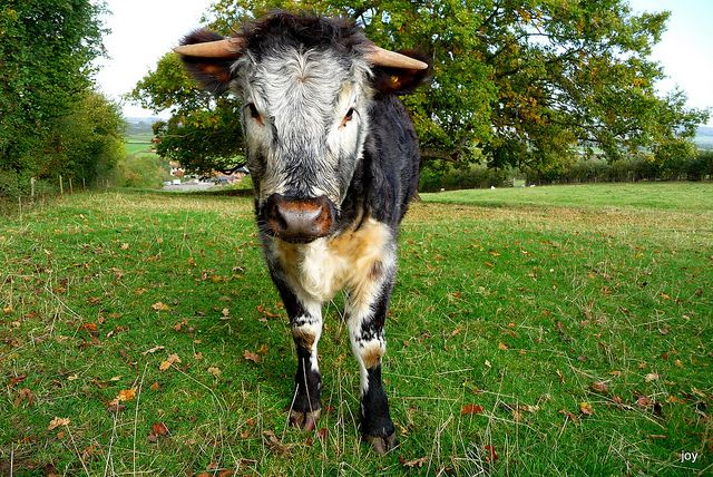 Young Old English Longhorn