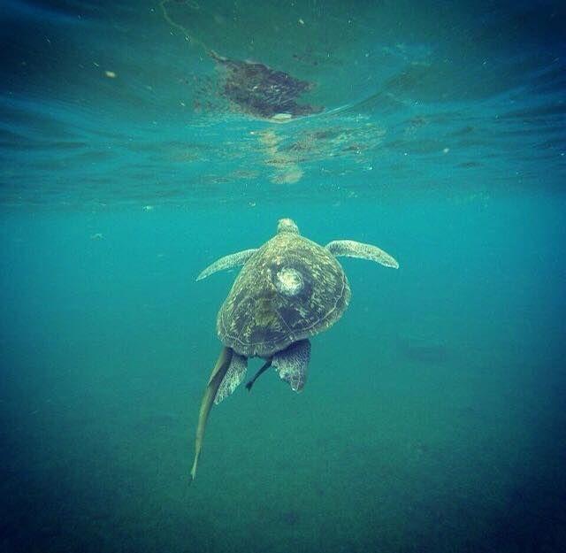 Rencontre avec des tortues, Plage de Malendure en Basse Terre ®Salomé Vanderheyden #VoyagesPassionTerre
