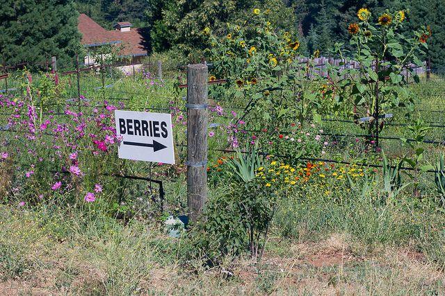 U-Pick berries on Apple Hill! (summer season) - #Sacramento #AppleHill