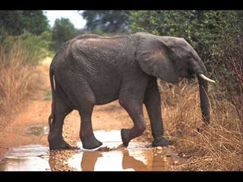 liedje : dikke olifant