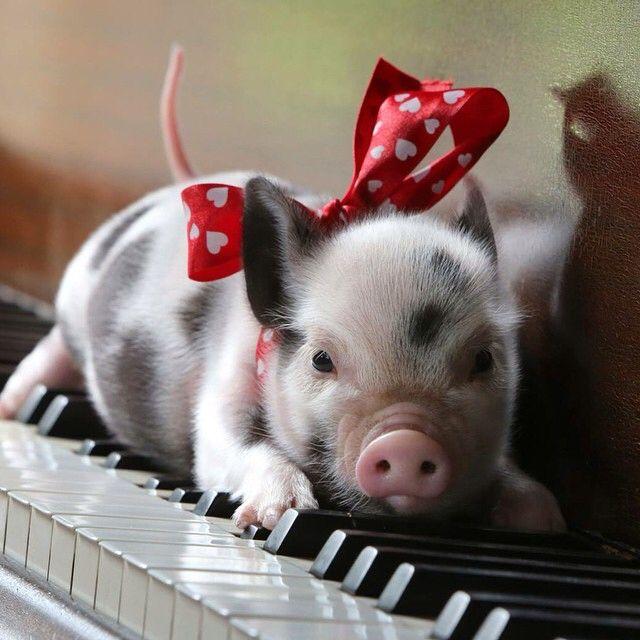 Oh my goodness. Piggy!!!   Cute animals, Cute pigs, Pet pigs
