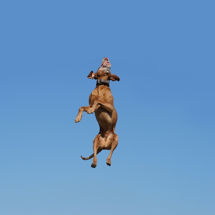 158 best images about Vizsla on Pinterest   Funny dog ...