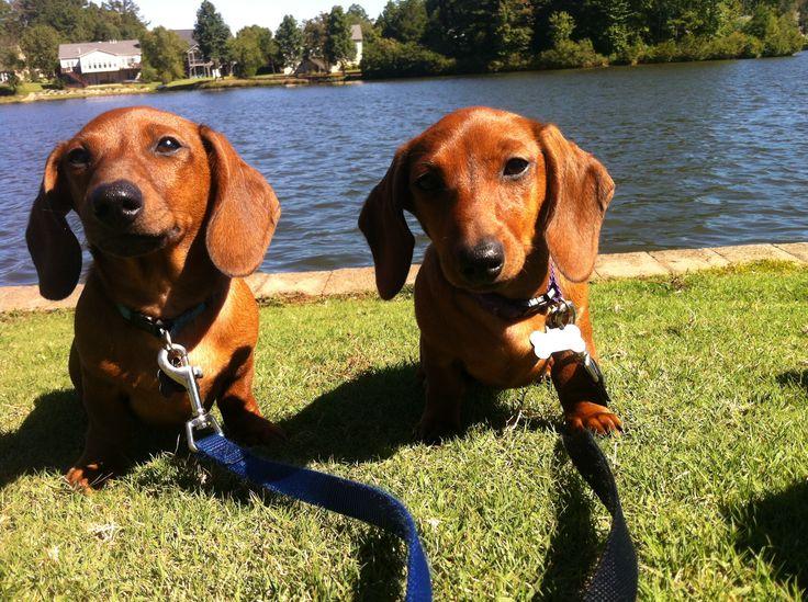 Chase & Chloe. Red Short-haired Dachshund