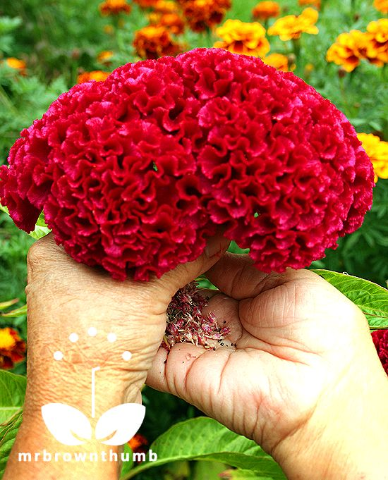 HOW TO SAVE COCKSCOMB SEEDS from MrBrownThumb -- Celosia cristata, cockscomb flower