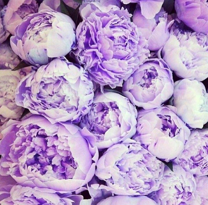 фиолетовые пионы картинки выцветает солнце морозостойкий