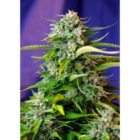Jack 47 Auto #semillas de #marihuana #autoflorecientes de #sweet_seeds con el 20% de #descuento