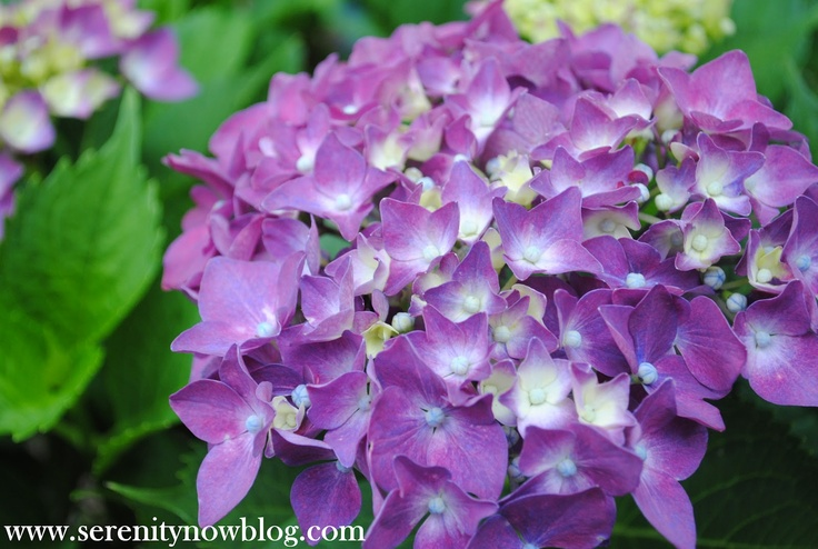 Serenity Now: How to Get a Hydrangea Plant to Bloom