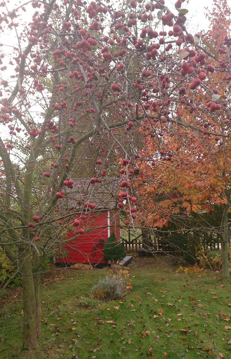 Jabłoń ozdobna Ola piękna przez cały rok. Joanna Paszko Ochotny Homestyling